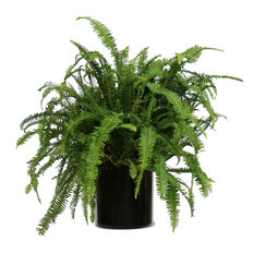 Live 2' Fern 'Kimberly Queen' Package, Black