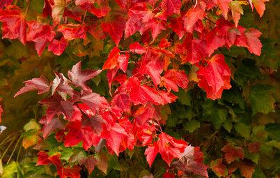 Pergolati e rampicanti per l 39 ombra in giardino - Rampicanti a crescita rapida ...