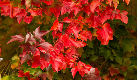 Great Design Plant: Acer Rubrum Brings Shade and Beauty