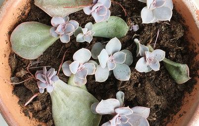 Guide: Dyrk din egen sukkulent-plante