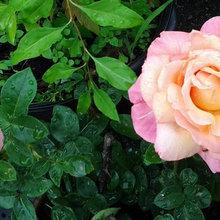 Walmart Mislabels(mystery rose#2)