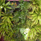 My Living Wall Of Mounted Staghorn Ferns Eclectic