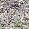 Kildeer Nest removal