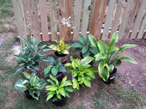 From My Understanding Homedepots Main Source For Hostas Throughout The Us Just Wanted To Share With Anyone That May Still Homedepot
