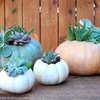 DIY: Pumpkins and Succulents Combine as Holiday Decor