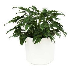 Live 2' Philodendron 'Zanadu' Package, White