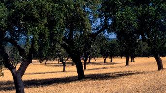 Korkeichen-Wälder und Korkernte