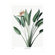 """Botanic Print, """"Strelitzia"""", Medium, 40 x 50 cm"""