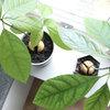 Trin for trin: Sådan laver du dit eget avocadotræ