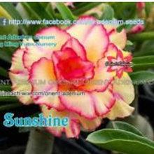 """A. Obesum """"Rinoa_Sunshine"""""""