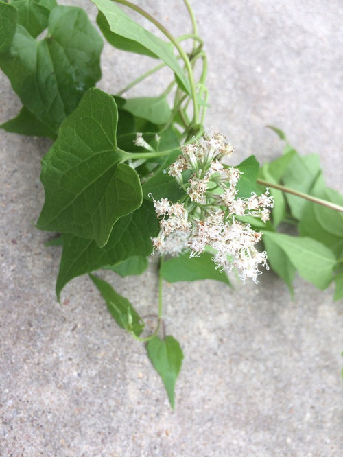 Vine With Tiny White Flowers