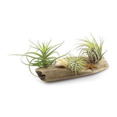 "NWWholesaler - Driftwood Garden 6""+ - Plants"