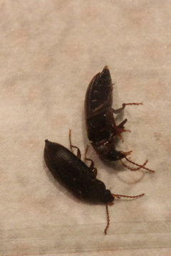 Tiny black beetles on kitchen counter