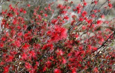 Great Design Plant: Baja Fairy Duster, a Scarlet Stunner