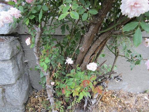 Identification Care Of Old Rose Bush