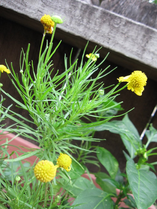 Small Yellow Flowers With Ball Carpels Long Thin Leaves