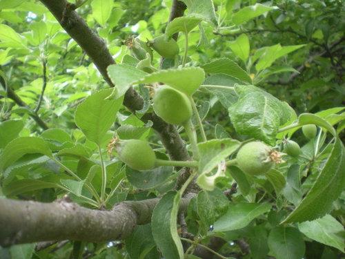 Apple Tree Baby Fruit Id