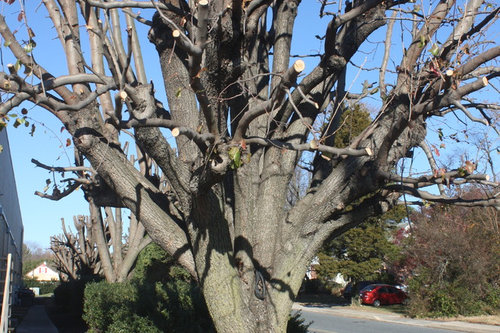 I Talked To The Guy Who Did This Pruning He Said If Everyone Pears Like There Would Be No Problems It Has Repeated Every Few Years