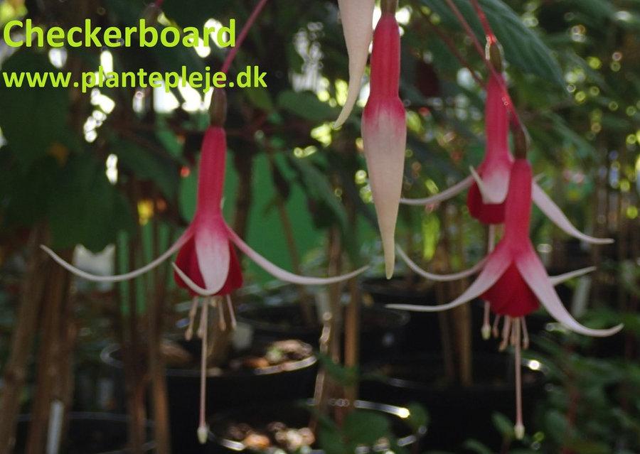 Fuchsia liste 2020 (her ses fotos af en mindre del af de fuchsia vi producere)