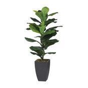 "3"" Potted Fiddle-Leaf Fig Plant"