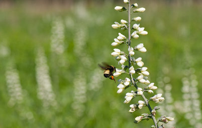 Great Design Plant: Please Bumblebees by Planting Baptisia Lactea