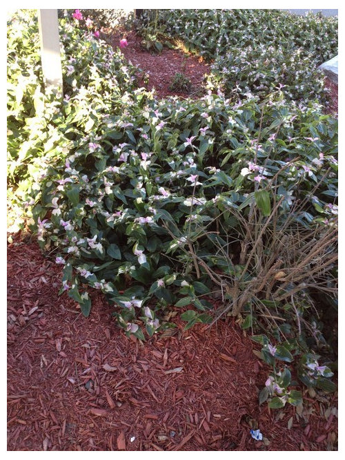 Name This Cold Hardy Flowering Shrub