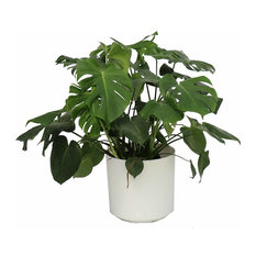 Live 3' Philodendron 'Swiss Cheese' Package, White