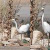 Great Egret vs Lizard