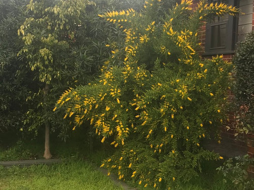 Yellow Flowered Weed Or Plant Help