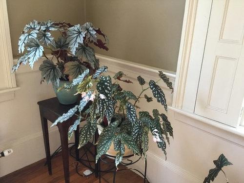 classic tropical island home decor home improvement.htm cane begonia id   cane begonia id