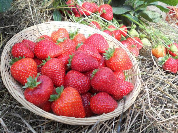 'Sweet Kiss' Strawberry