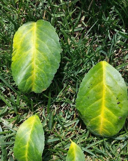 meyer lemon citrus yellow veins