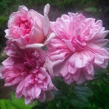 Roses zone 5/6