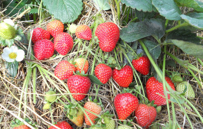 8 Delicious Strawberry Varieties to Grow at Home