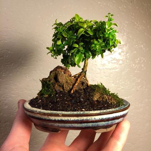 Dwarf Kingsville Boxwood Bonsai Help