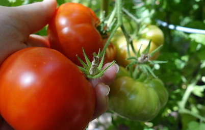Kitchen Traditions: Tomato Season Meets a Family Legacy