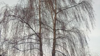 Photos of a Recent Downy Birch Reduction