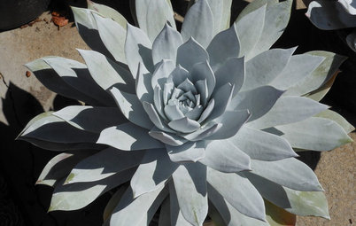 Great Design Plant: Dudleya, a Dramatic California Native