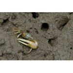"Pi Photography Wall Art and Fine Art - Fiddler Crab Wildlife Photography Unframed Wall Art Print, 20""x30"" - Fiddler Crab Wildlife Photography - Luster Photo Paper Unframed Wall Art Print"
