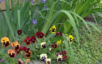 Great Design Plant: Pansy