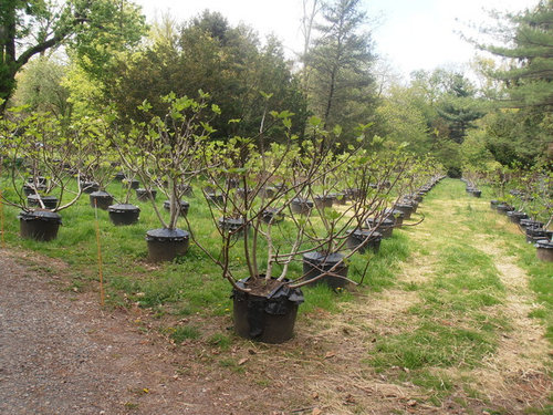 We Are Growing All Our Fig Trees In Pots Since Zone 5 Hy Tree Everyone