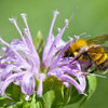 Support Bumblebees by Providing Forage in 3 Seasons