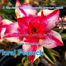 """A. Obesum """"Rinoa_Floral Peacock"""""""