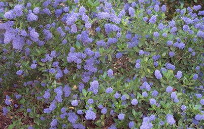 Great Design Plant: Ceanothus Pleases With Nectar and Fragrant Blooms