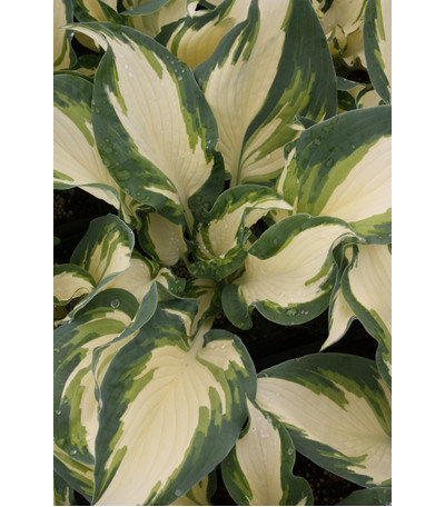 Traditional Plants by Plant Delights Nursery