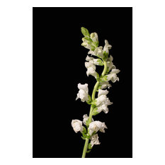 """White Snapdragons"" Nature Photography, Floral Unframed Wall Art Print, 24""x36"""
