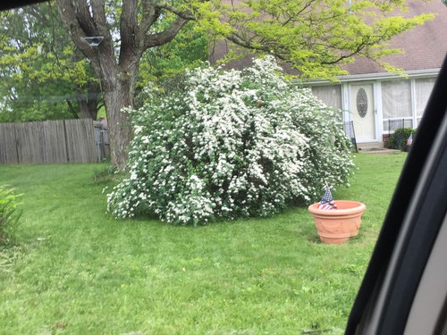 White flowering shrub zone 6 could you please help me identify a shrub flowering now lots of small white ball like flowers much appreciated mightylinksfo