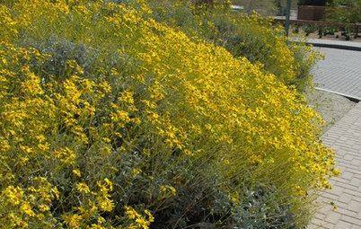 Great Design Plant: Brittlebush Brightens Rocky, Dry Spots