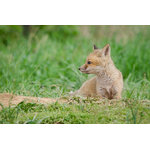 "Pi Photography Wall Art and Fine Art - ""Chillin"" (Baby Fox) Wildlife Photography Unframed Wall Art Print, 24""x36"" - ""Chillin"" Wildlife Photography - Luster Photo Paper Unframed Wall Art Print"