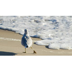 "Pi Photography Wall Art and Fine Art - ""Seagull Shuffle"" (Shore Birds) Wildlife Photography Unframed Wall Art Print, 20 - ""Seagull Shuffle"" Wildlife Photography - Luster Photo Paper Unframed Wall Art Print"